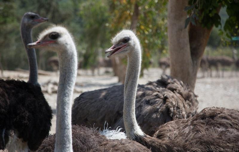 страусиная ферма родос