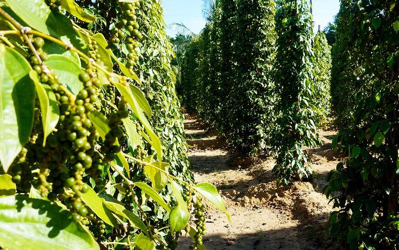 плантации перца на острове фукуок