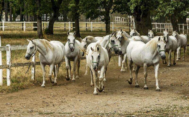 конный завод в липице